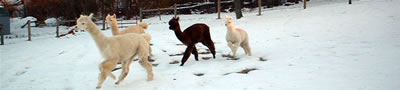 alpacas running in the snow